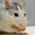 mice and probiotics